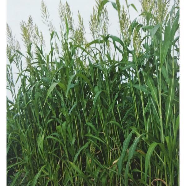 ソルゴー種 ラッキーソルゴーNeo (1kg) 【タキイ種苗】 [牧草種子 飼料用 緑肥用 ソルガム種]