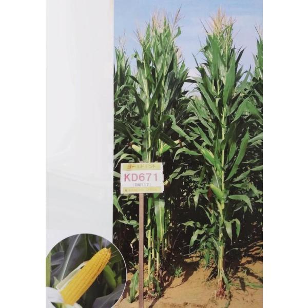 トウモロコシ種 ゴールドデントKD671 (3,500粒) 【カネコ種苗】  [牧草種子 飼料用 玉蜀黍種]