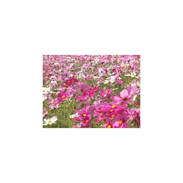 【お買い得セット販売 送料無料】 景観用コスモス種子 秋咲巨大輪 混合 (1kg) 10袋セット