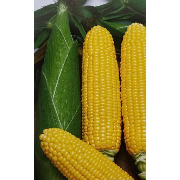 トウモロコシ種 F1 プレミアムスイート86(2000粒) [栽培用 種子 とうもろこし 玉蜀黍 スイートコーン 生産者向け トーホク]