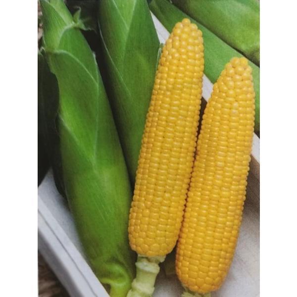 トウモロコシ種 キャンベラ90EX (2000粒) [栽培用 種子 とうもろこし 玉蜀黍 スイートコーン 生産者向け]