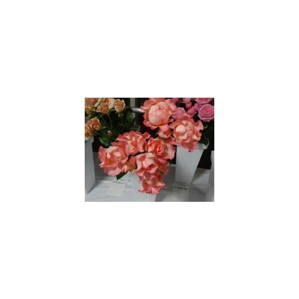 18・バラ苗・切り花品種接ぎ木 SPウェーブナギ2〜3号