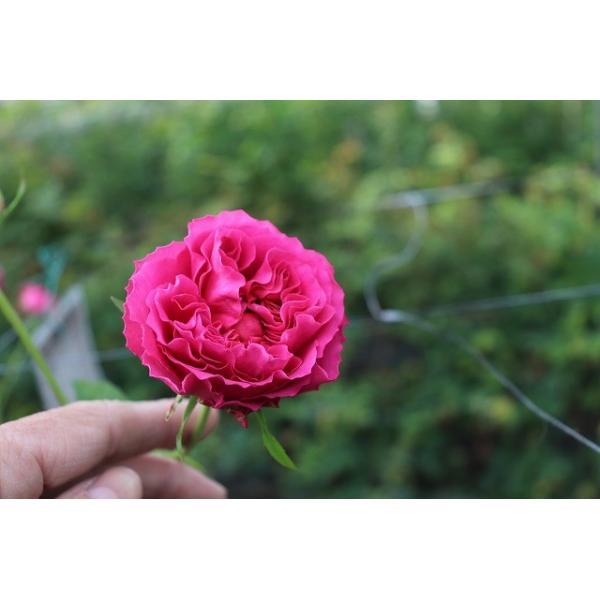 18・NEW・バラ苗・切り花品種接ぎ木 ナギサウェーブ2〜3号 morinouen-store