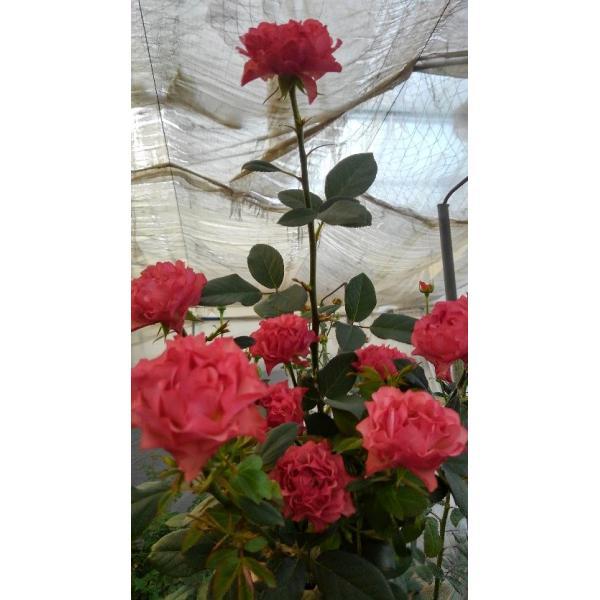 18・NEW・バラ苗・切り花品種接ぎ木 ナギサウェーブ2〜3号 morinouen-store 02