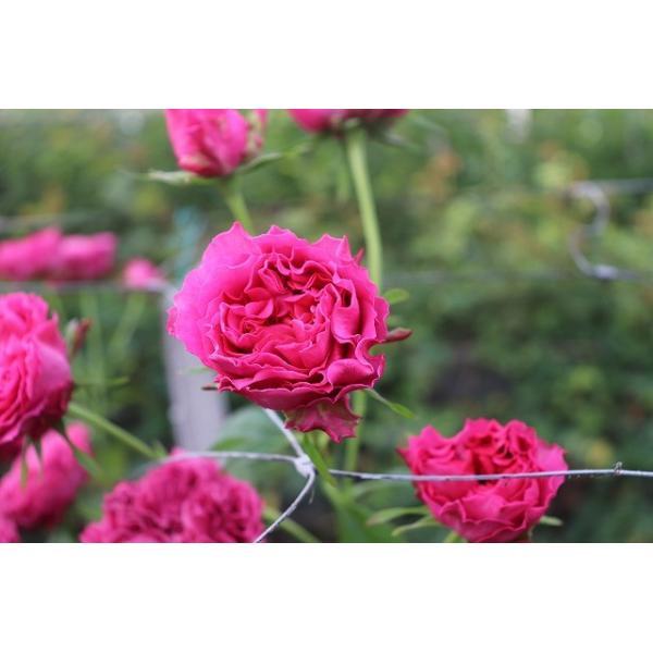 18・NEW・バラ苗・切り花品種接ぎ木 ナギサウェーブ2〜3号 morinouen-store 03