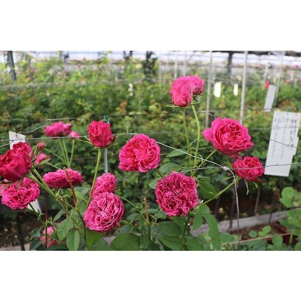 18・NEW・バラ苗・切り花品種接ぎ木 ナギサウェーブ2〜3号 morinouen-store 04
