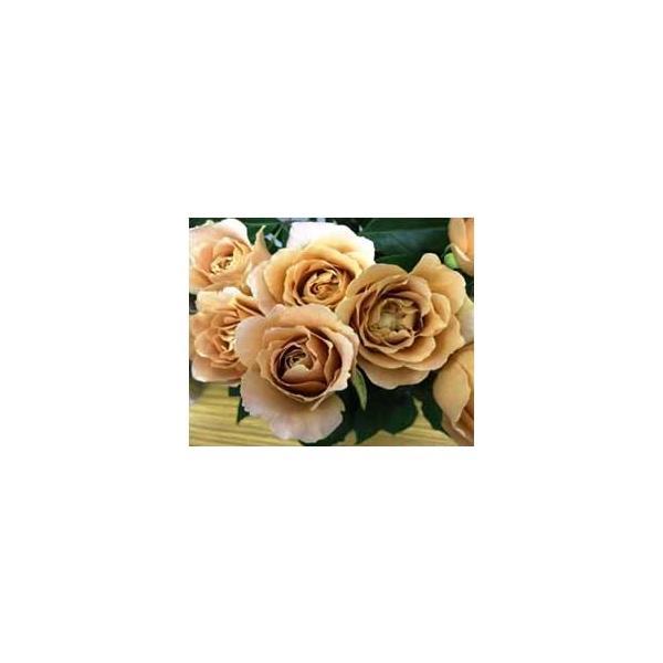 18・バラ苗・切り花品種接ぎ木 ラフィネポルテ2〜3号 morinouen-store