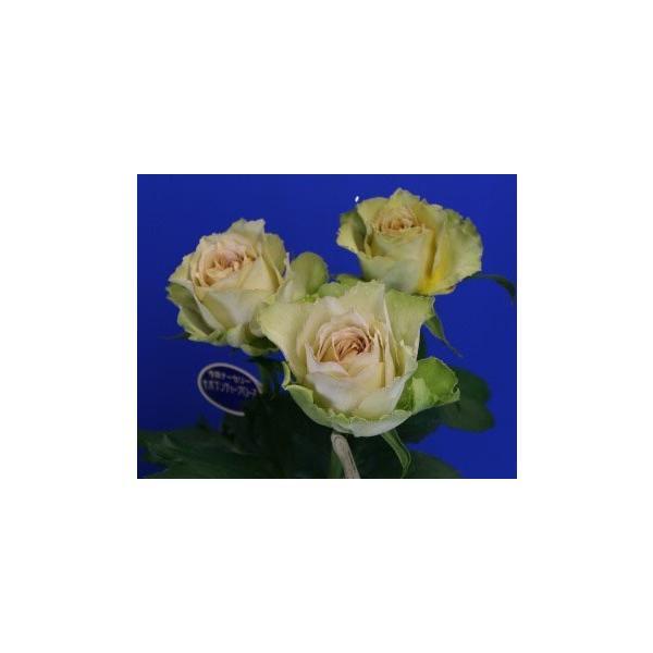 18・NEW・バラ苗・切り花品種接ぎ木 リテラチュール2〜3号 morinouen-store