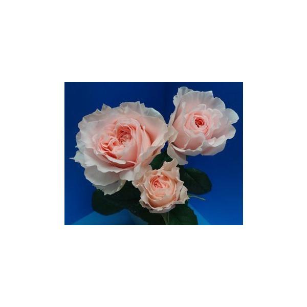 18・NEW・バラ苗・切り花品種接ぎ木 フロウトワ2〜3号|morinouen-store