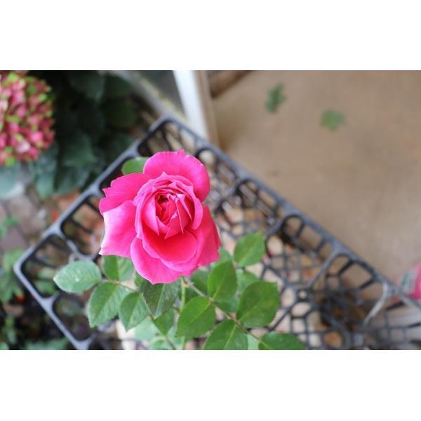 18・NEW・バラ苗・切り花品種接ぎ木 由愛2〜3号(購入前に下記の重大なコツなどを読んでください)
