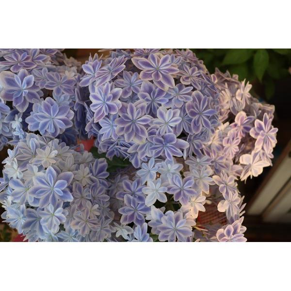 19・アジサイ 万華鏡ブルー5号鉢 morinouen-store 04