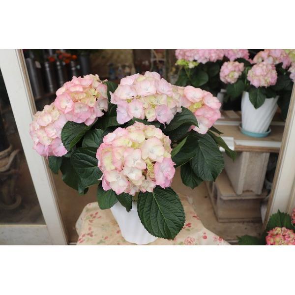 19・アジサイ 万結珠ピンク5号鉢|morinouen-store
