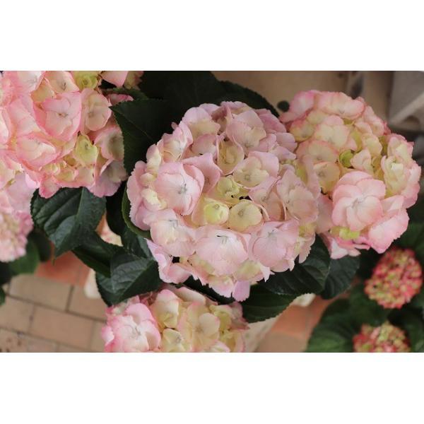 19・アジサイ 万結珠ピンク5号鉢|morinouen-store|02