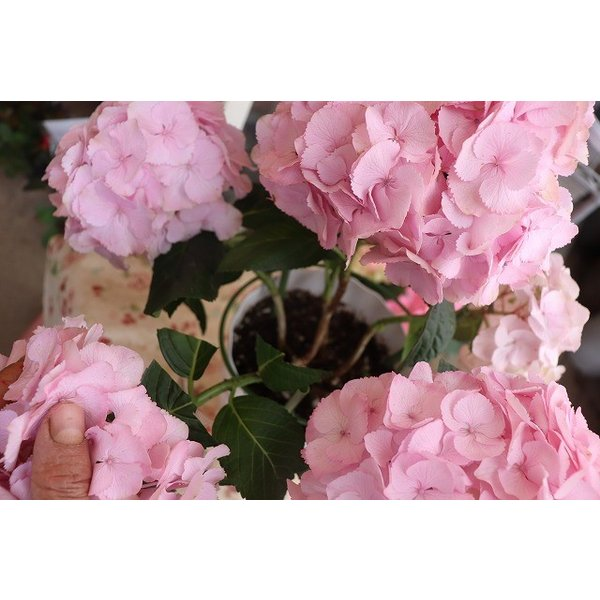 19・アジサイ 万結珠ピンク5号鉢|morinouen-store|04