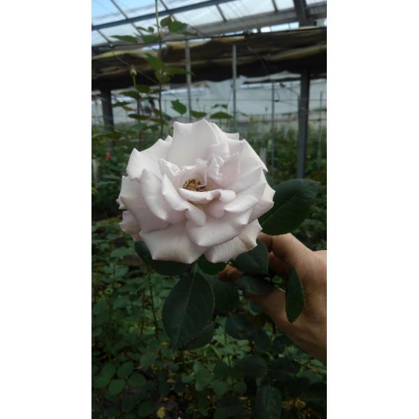 19・NEW・バラ苗・切り花品種接ぎ木 シュナーベル2〜3号|morinouen-store|02