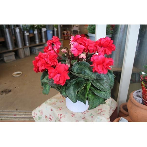 シクラメン(鉢花・苗)赤い彗星5号底面給水鉢