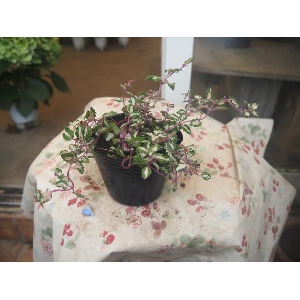 21ベロニカ(苗・鉢花)レッドラインコンパクタ2.5号ロングポット