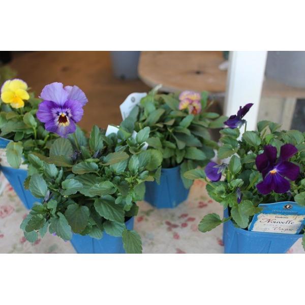 育種家さんのビオラ(ビオラ苗) ヌーヴェルヴァーグ A46〜49 3.5号鉢|morinouen-store
