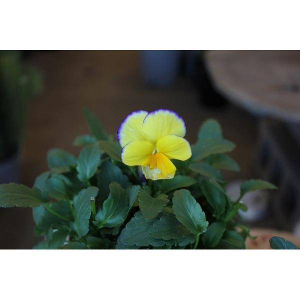 育種家さんのビオラ(ビオラ苗) ヌーヴェルヴァーグ A46〜49 3.5号鉢|morinouen-store|02