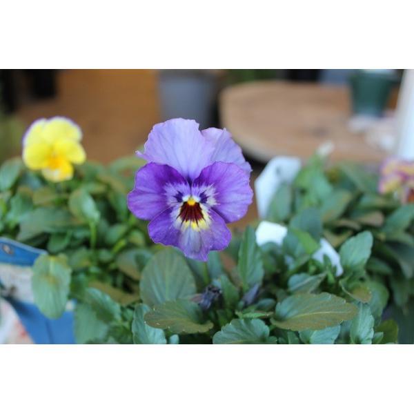 育種家さんのビオラ(ビオラ苗) ヌーヴェルヴァーグ A46〜49 3.5号鉢|morinouen-store|03