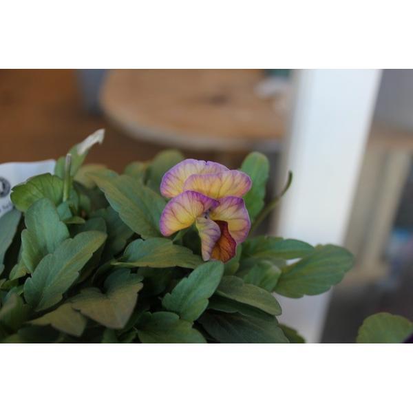 育種家さんのビオラ(ビオラ苗) ヌーヴェルヴァーグ A46〜49 3.5号鉢|morinouen-store|04