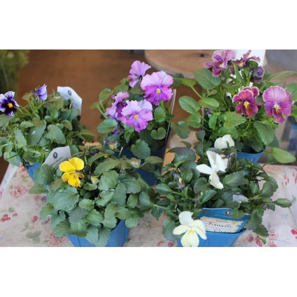 育種家さんのビオラ(ビオラ苗) ヌーヴェルヴァーグ A36〜40 3.5号鉢 morinouen-store