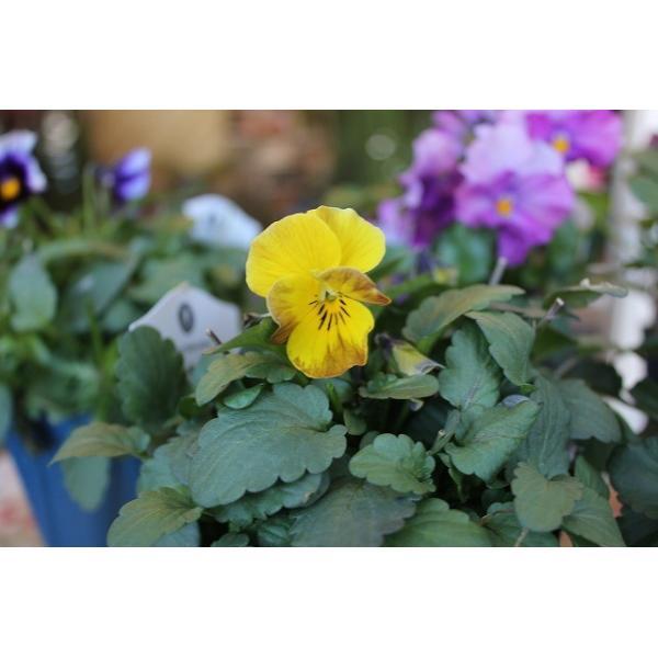 育種家さんのビオラ(ビオラ苗) ヌーヴェルヴァーグ A36〜40 3.5号鉢 morinouen-store 03