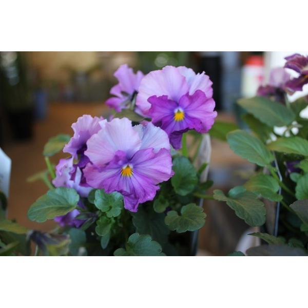 育種家さんのビオラ(ビオラ苗) ヌーヴェルヴァーグ A36〜40 3.5号鉢 morinouen-store 04