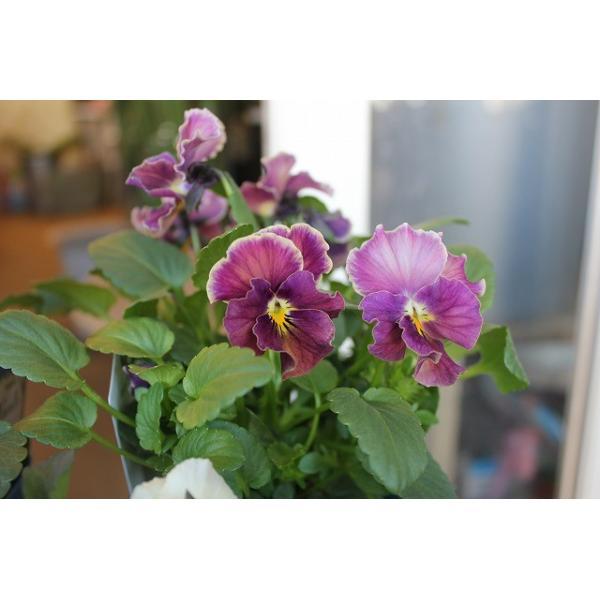育種家さんのビオラ(ビオラ苗) ヌーヴェルヴァーグ A36〜40 3.5号鉢 morinouen-store 06
