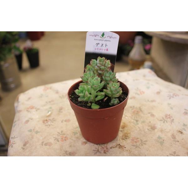 多肉植物・サボテン(cacto-loco) エケべリア グスト(エケベリア)2.5号鉢
