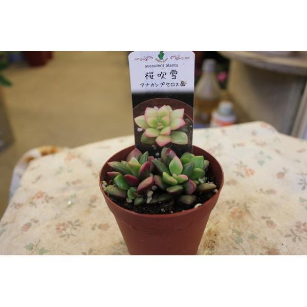 多肉植物・サボテン(cacto-loco) 桜吹雪(アナカンプセロス)2.5号鉢