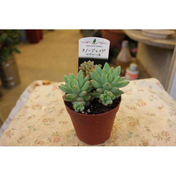 多肉植物・サボテン(cacto-loco) スノージェイド(セデべリア)2.5号鉢