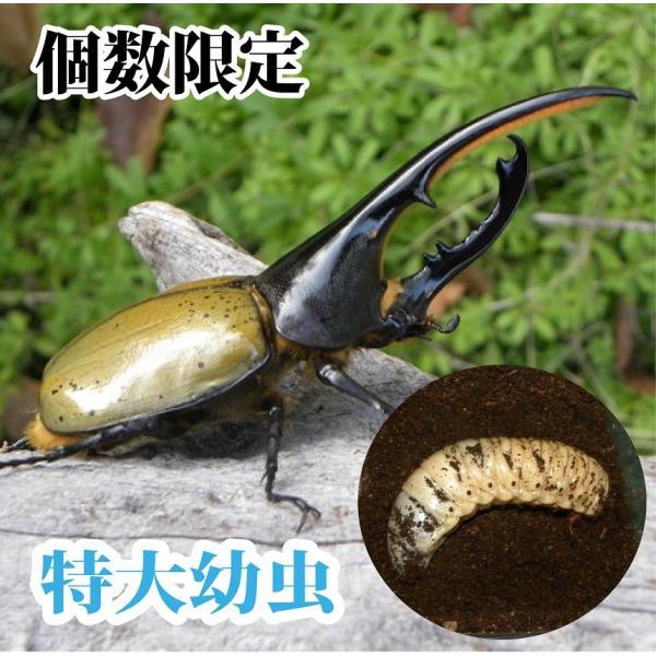 ヘラクレスオオカブト幼虫