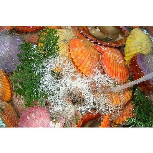 ヒオウギ貝 8cmサイズ 90枚