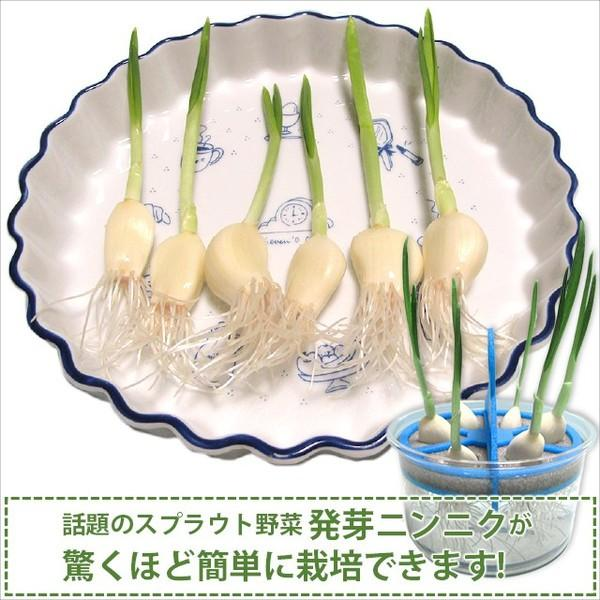 スプラウトにんにく 水耕栽培キット 2個セット 発芽ニンニク 栽培セット|namustore|02