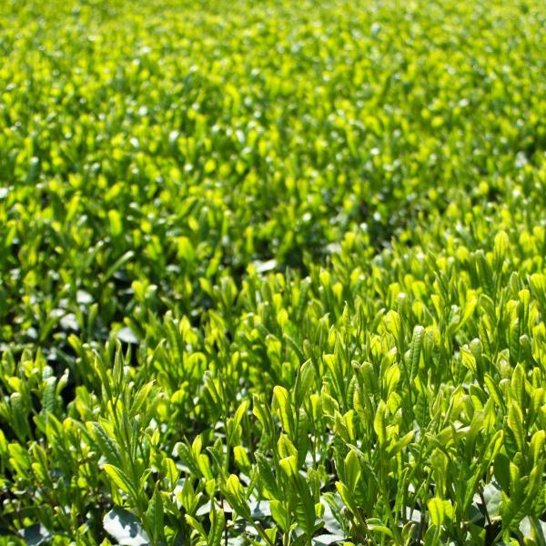 粉末緑茶 スティックタイプ 有機 オーガニック 2.8g x 10本入り|naturalhills|04