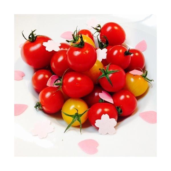 ミニトマト トマト 新鮮 生産者直送 当店一番人気!数種類のミニトマトが入った店長おまかせバラミックス1.5キロ |next-triange|05