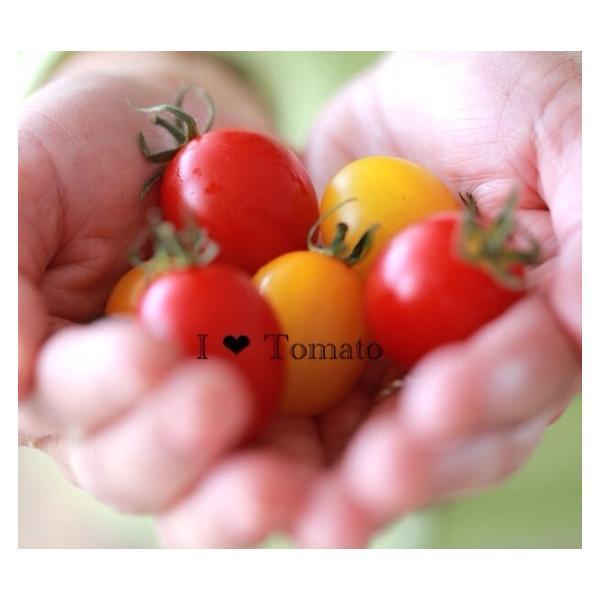トマト ミニトマト 新鮮 生産者直送 赤と黄色のミニトマトが楽しめる10カップセット |next-triange|07
