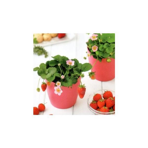 イチゴ 栽培キット ピンクの花咲くストロベリー栽培セット