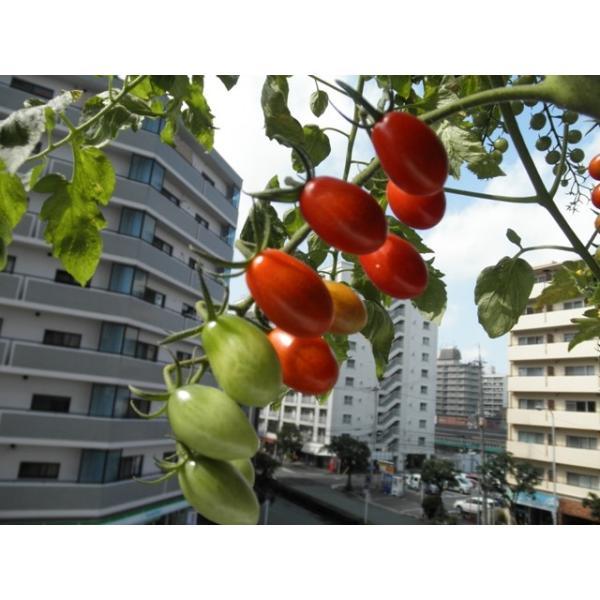 ミニトマト 種 アイコ  サカタ交配 サカタのタネ|nicoco|03