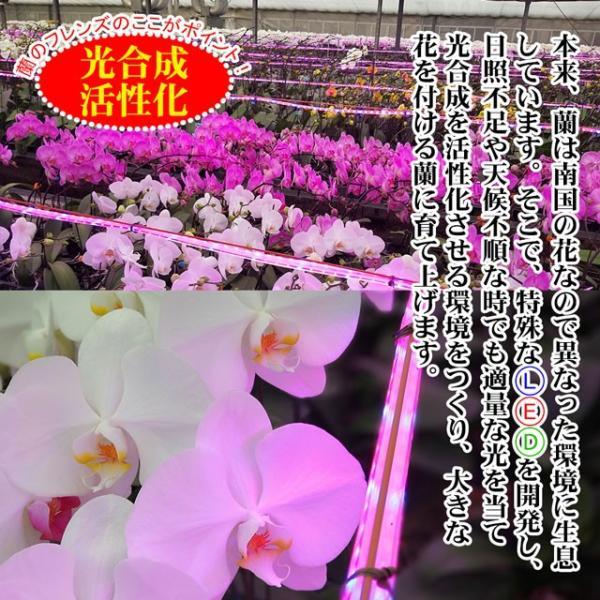 胡蝶蘭 ミディ 3本立ち 送料無料 27輪以上 花 フラワー ギフト  お祝い 開店祝い 開院 開業 御祝 蘭 ラン お供え プレゼント|no-brand|09