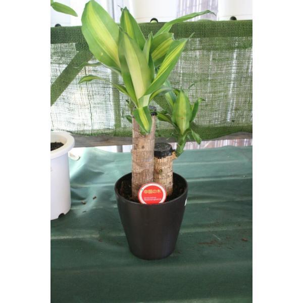 観葉植物 幸福の木 ドラセナマッサン 5寸鉢 ラッピング代込 送料込価格