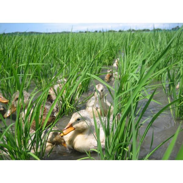 送料込 JAS有機あいがも栽培米(玄米)5kg|nousan|02