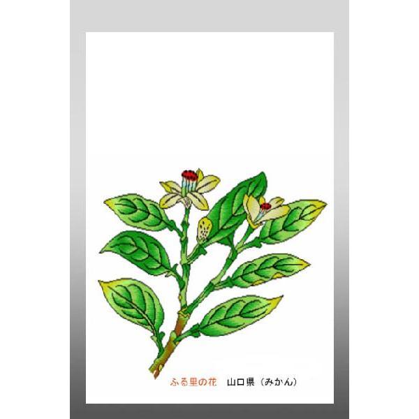 花 イラスト ポストカード 絵葉書 イラスト画「ふる里の花」山口県(夏みかん)
