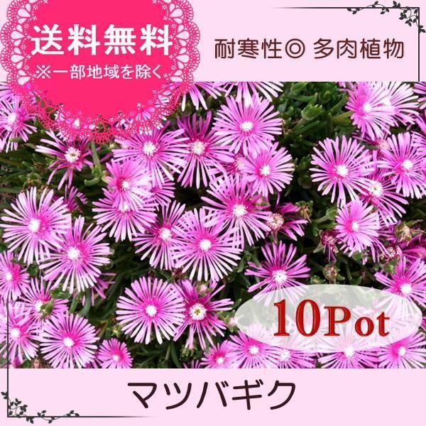 マツバギク10Potセット・苗 多肉植物(セダム) (1Potあたり230円) odaiba-gardenclub