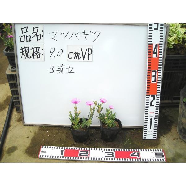マツバギク10Potセット・苗 多肉植物(セダム) (1Potあたり230円) odaiba-gardenclub 05
