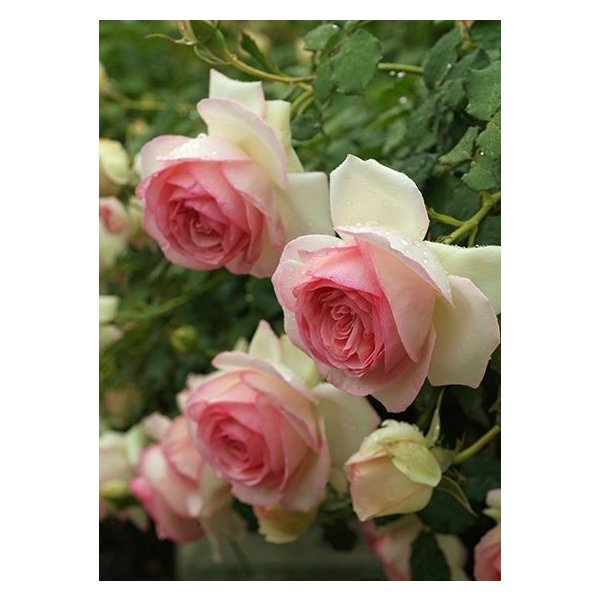 ピエール・ドゥ・ロンサール(バラ苗:つるバラ) 大苗予約 バラの殿堂入り
