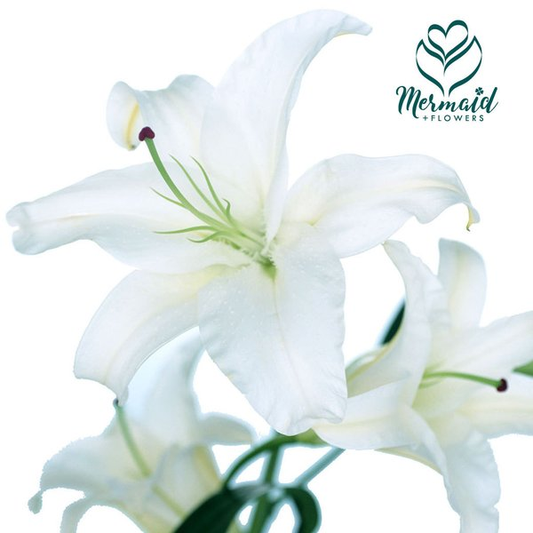 カサブランカ 花 1本 百合 ゆりユリ の女王カサブランカ 切り花