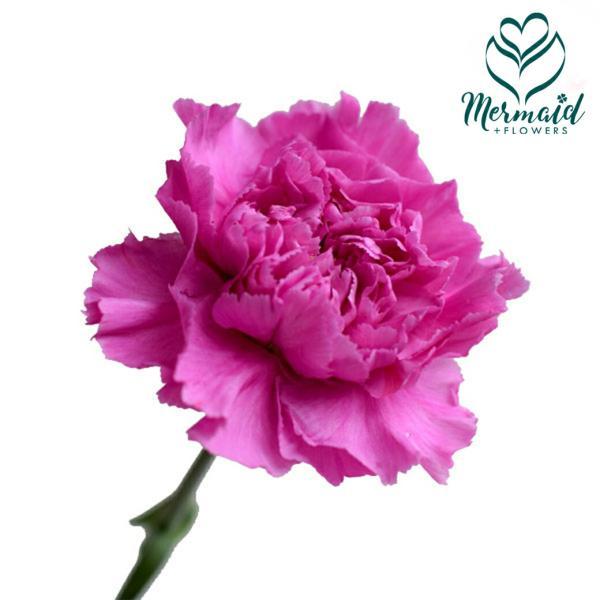 切り花 生花 切花 カーネーション ムラサキ ファリダ濃紫など 5本