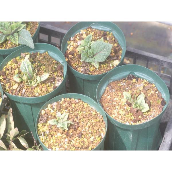 Mandragora autumnalis/マンドラゴラ・アウツムナリス|ohgi-nursery|02